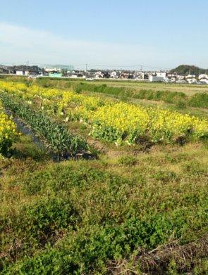 水巻 菜の花